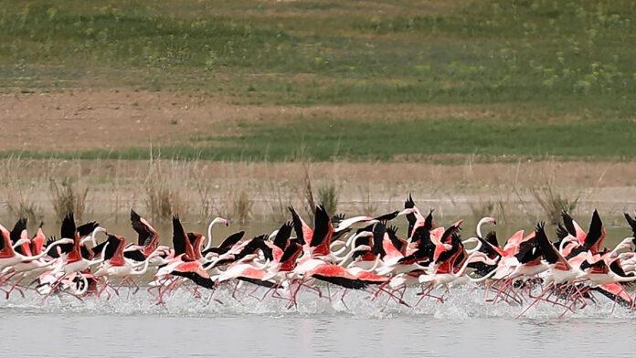 tuz gölü flamingo